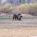 mother grizzly and her cubs by the river bed