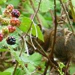 Chipmunk eating wild blackberries.