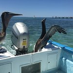 Pelicans taking care of leftover bait