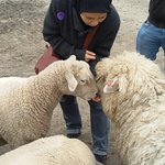 Feeding hungry sheep