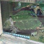 Tortue aligator