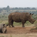 A group of rhinos at Nairobi National Park