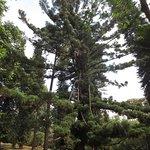 Ait Hoop Pine at Nairobi Arboretum