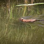 Muskrat swimming on the pond