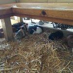 guinea pigs galore!