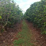 Rows of coffee bean plants