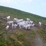 bovini al pascolo nei pressi della Croce