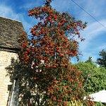 Rowan Tree in garden