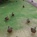 ducks rush from the pond to be fed every morning