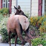 Elk grooming the resort flower beds