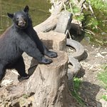 Black bear posing