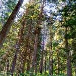 Giant Cedars Boardwalk Trail