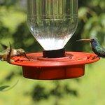 Rufous and Broad Billed Hummingbirds