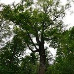 マザーツリーは樹齢400年