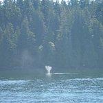 Humpback whales, Bamfield BC