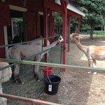 Cape Newagen Alpaca Farm