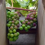 Grapes to make a vintner proud.