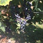 Cape May Vineyard