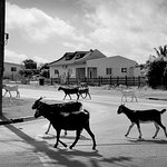 On the REAL island side; goats crossing street