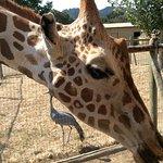 Kiss if the giraffe