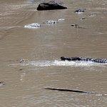 Crocodiles & egret & jumping fish