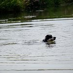 spaniel that jumped into the river