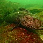 Huge Ling Cod