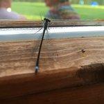 Die Libelle Foto
