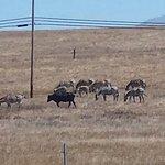 Zebra grazing with cattle.
