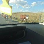 oh des vaches