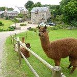 Alpacas outside the cottage