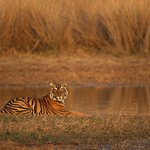 Young Tiger in the golden light