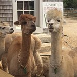 Each alpaca has it's own personality. So fun!