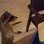 Precioso mapache