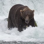 One of the huge male brown bears we seen on our trip