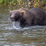 Brown bear intensely looking for salmon