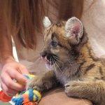Baby Mountain Lions Encounter