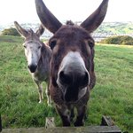 Donkeys at the kitchen window