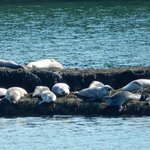 Seals on the rock island in the cove