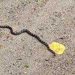 Eastern Milk Snake Jones Falls Ontario