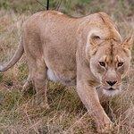 Lioness creeping