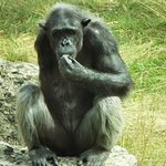Lulu the one armed chimp looking a bit thoughtful