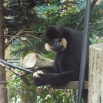 A golden cheeked gibbon taking a good look at me watching him
