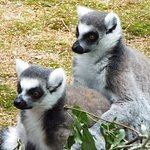 These cheeky lemurs watching the keepers laying out browse for the rest of the family