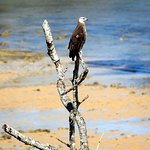 Very rare Madagascan Fish Eagle at one of the hotel beaches.