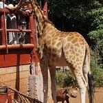 Giraffe and a waiting warthog