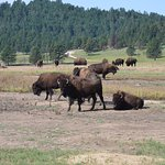 Wild Bison at Custer State Park