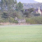 """Wild Zebra grazing on the golf course with my """"cottage"""" in the rear."""