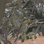 2,500 olive trees, as well as figs you can eat.