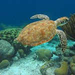 Turtle on house reef